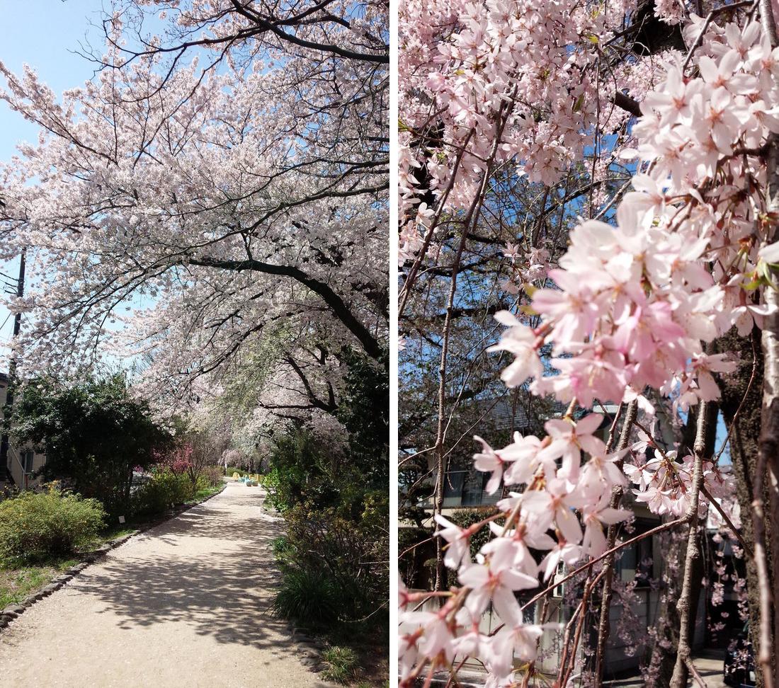 102桜並木