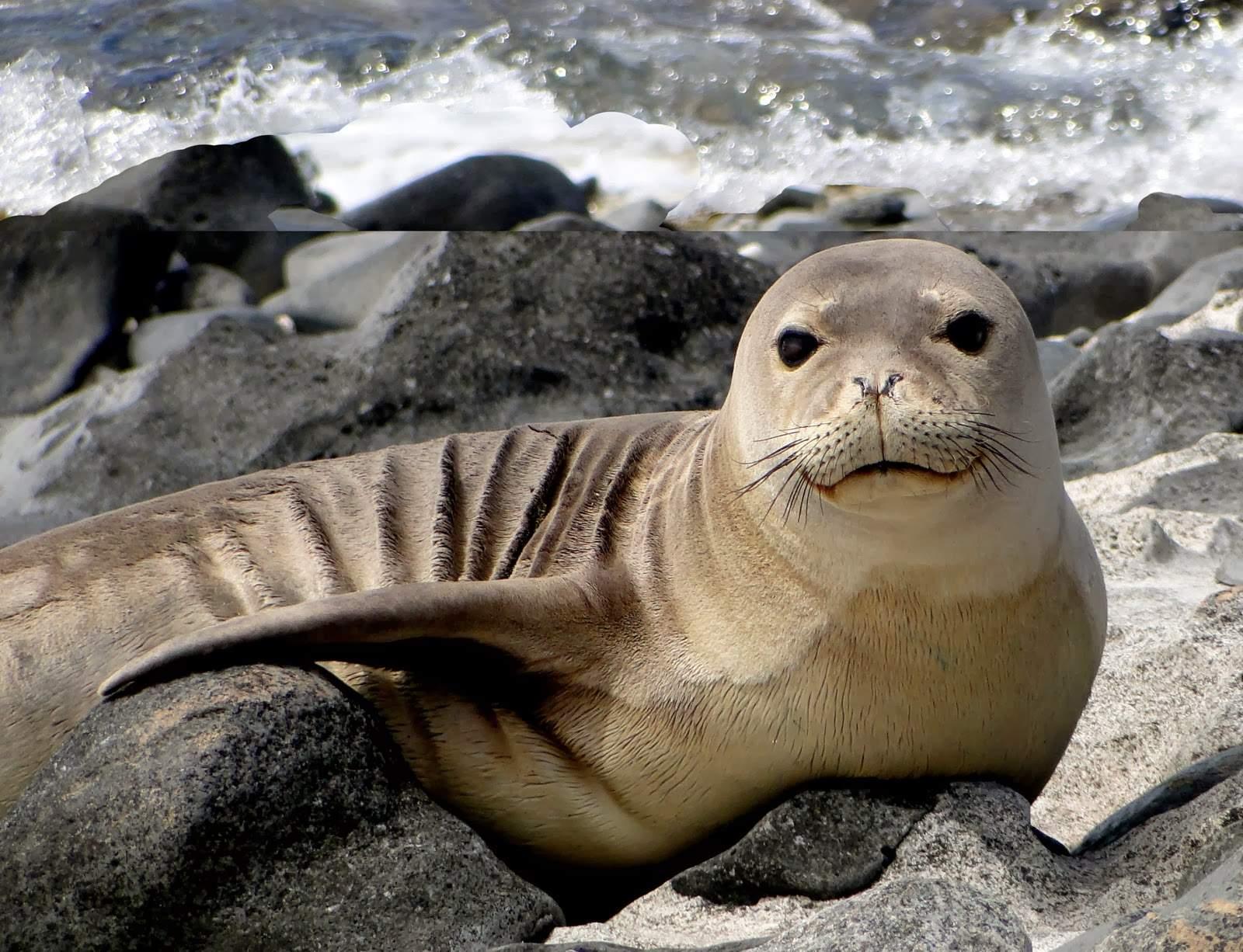 Hawaiian Monk Seal1 (1)